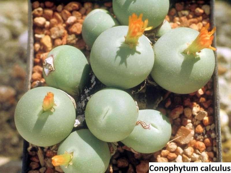 conophytum calculus