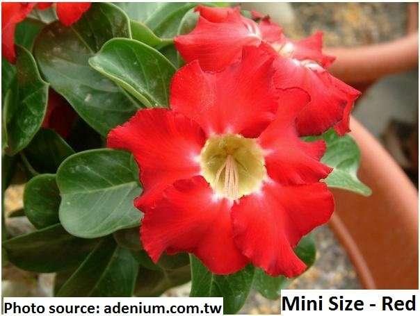 adenium obesum Bonsai 5 25 or 100 seeds DESERT ROSE Aida