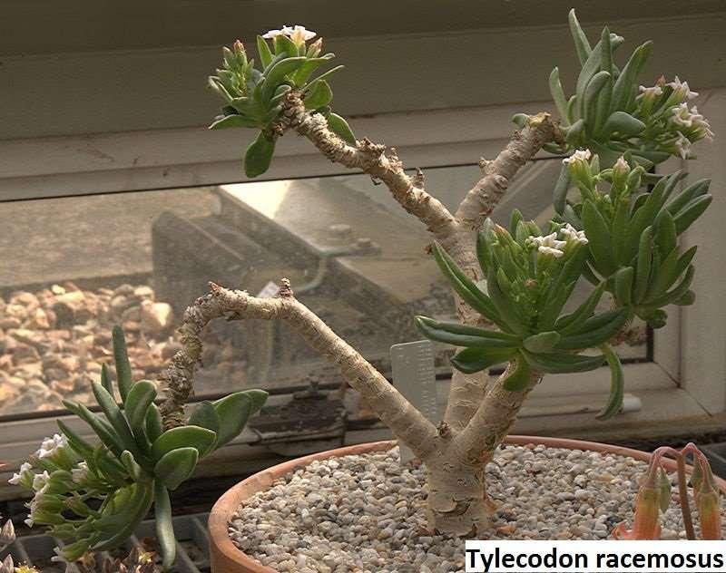 tylecodon