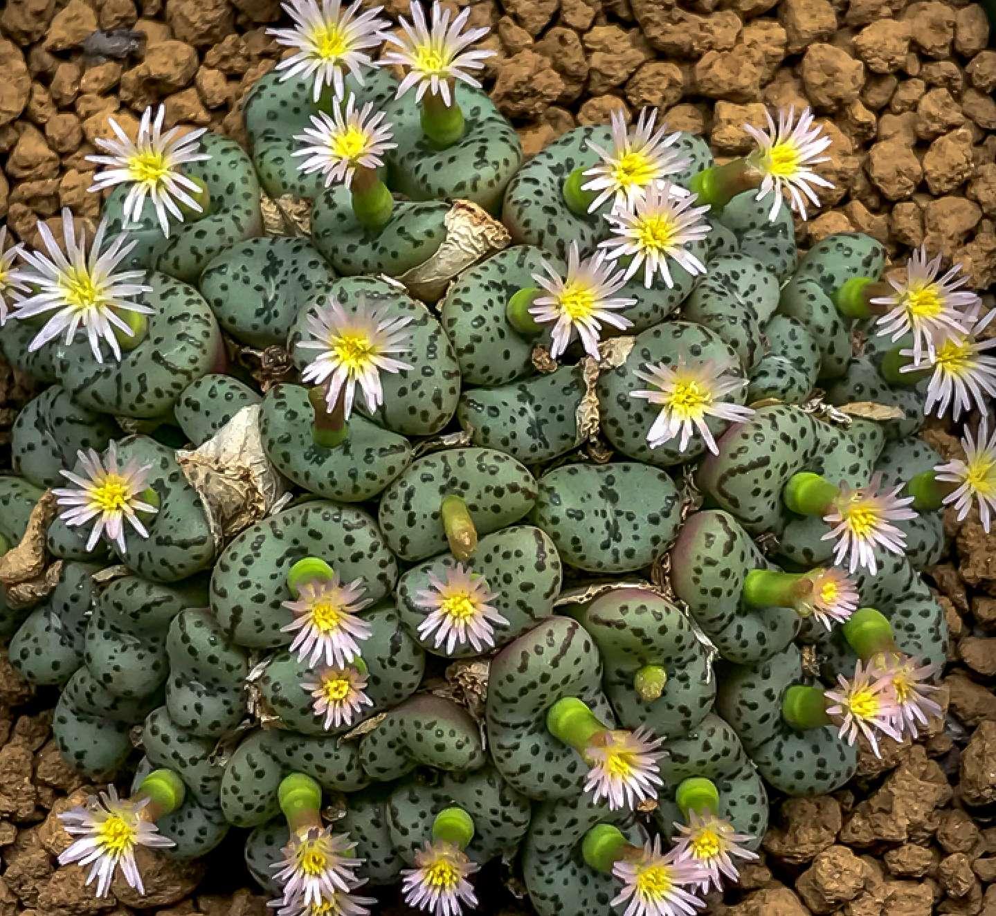 Conophytum Minutum 20 Seeds Mesemb Succulent