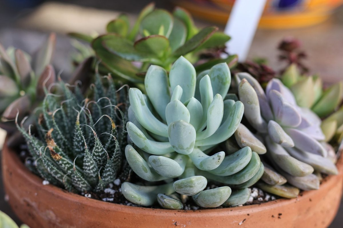 succulent-care-and-display-tips