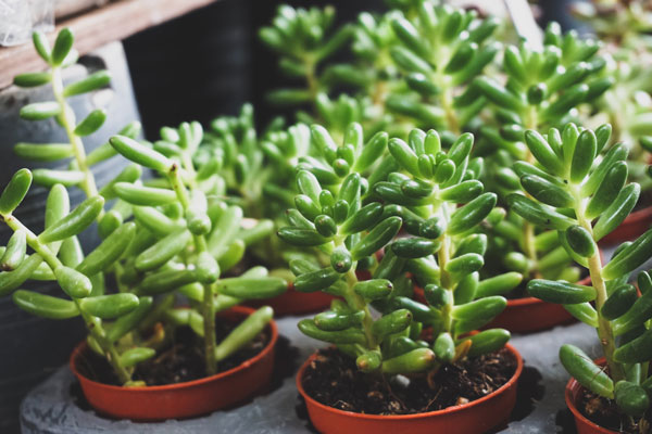 succulent problems