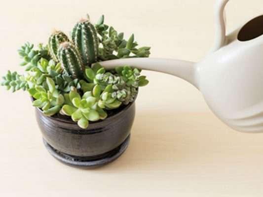Watering succulents