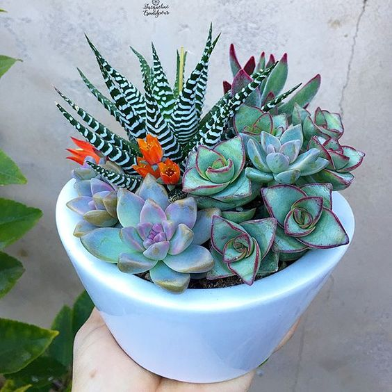 haworthia and succulents