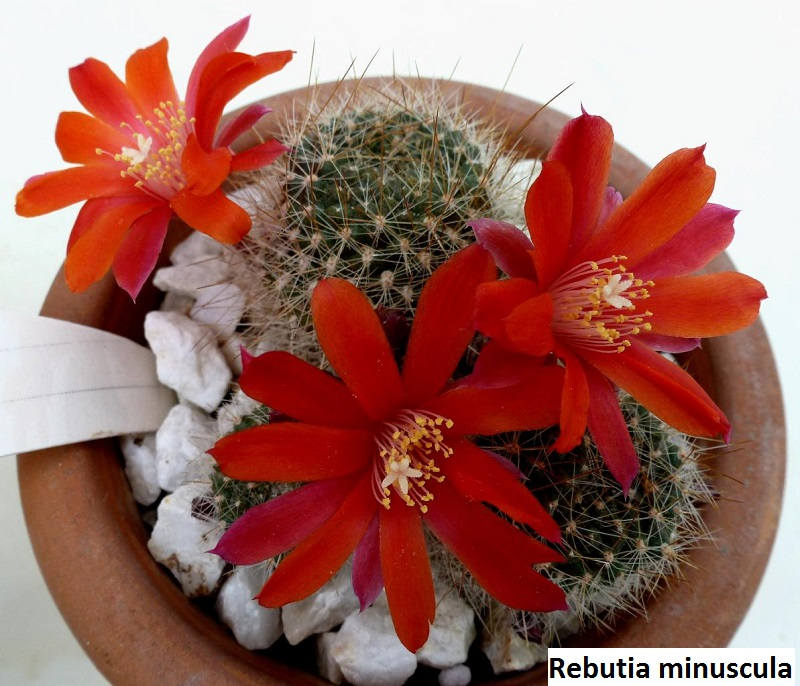 Semis de Rebutia (cactus) Il_fullxfull.1263127898_4hub