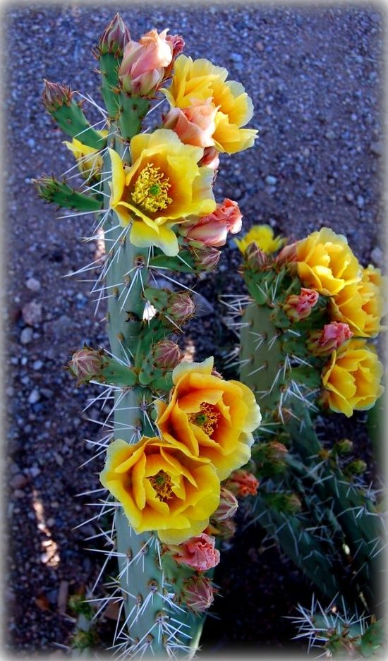 columnar opuntia with flowers