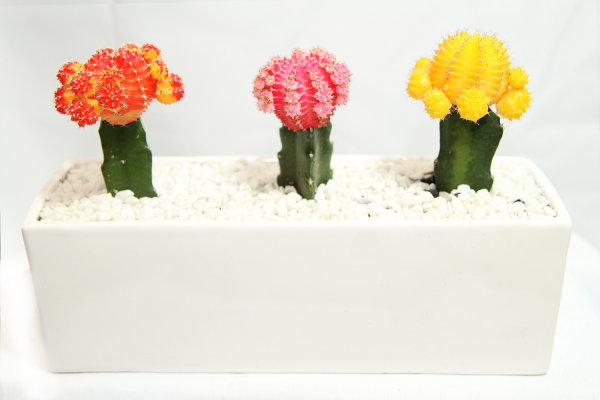 Moon Cactus in arrangement