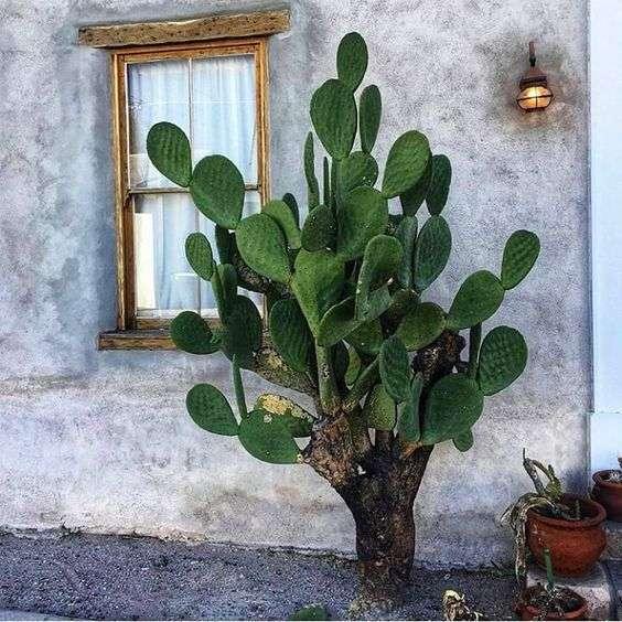 large opuntia