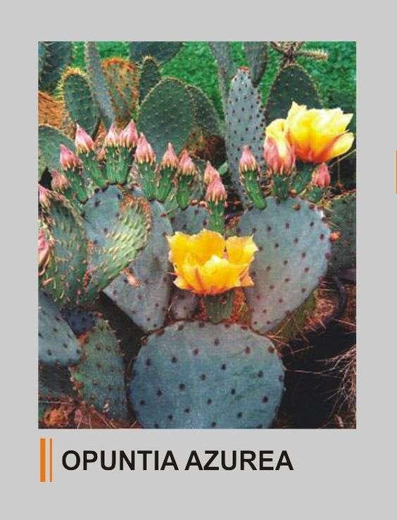 Opuntia azurea
