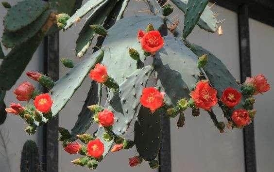 opuntia bergeriana
