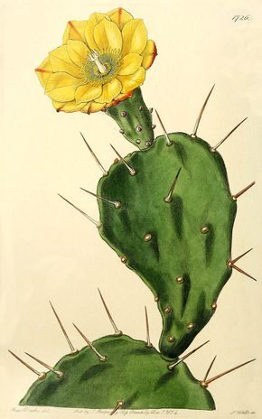 opuntia vulgaris illustration