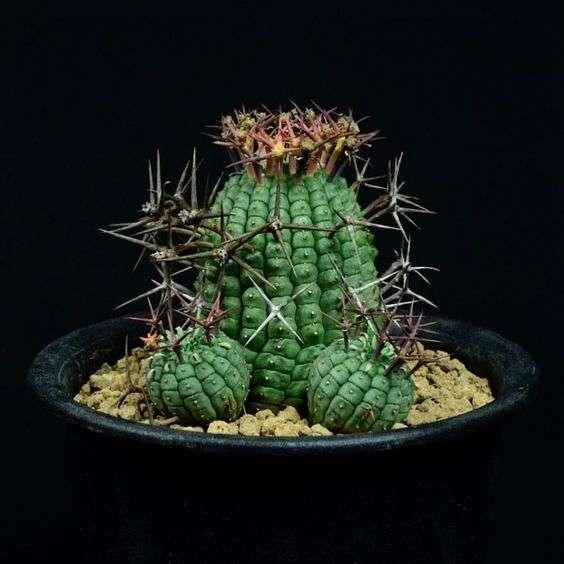 Euphorbia stellispina