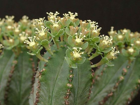 Euphorbia tubiglans flowers