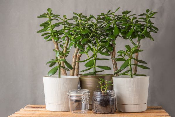 Jade Plants Potted