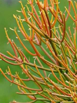 Close up of the Euphorbia tirucalli