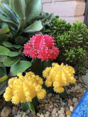 Grafted Cacti Outdoors