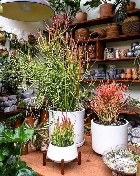 Collective Euphorbia tirucalli