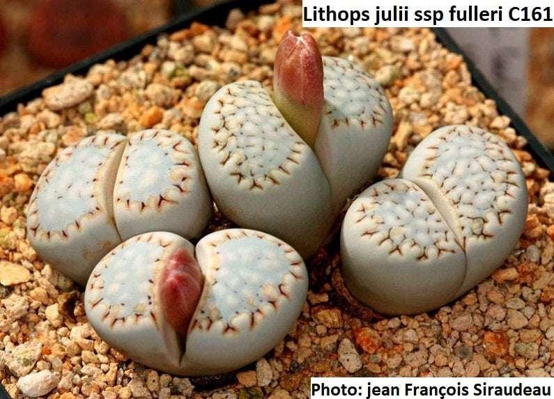 nataellis 50 SEEDS Lithops julii ssp fulleri Swartbaks mesemb