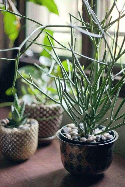 Junior firesticks plant