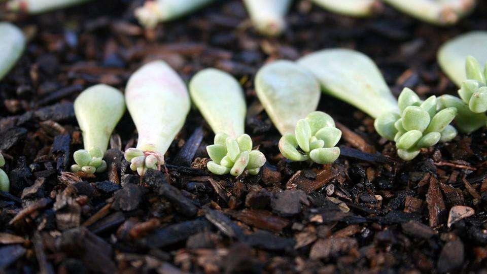 Succulent Leaf Cuttings