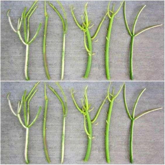 Tirucalli stem cuttings