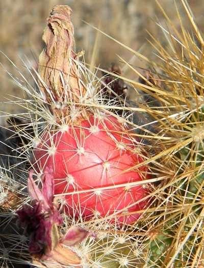 Echinocereus fruits