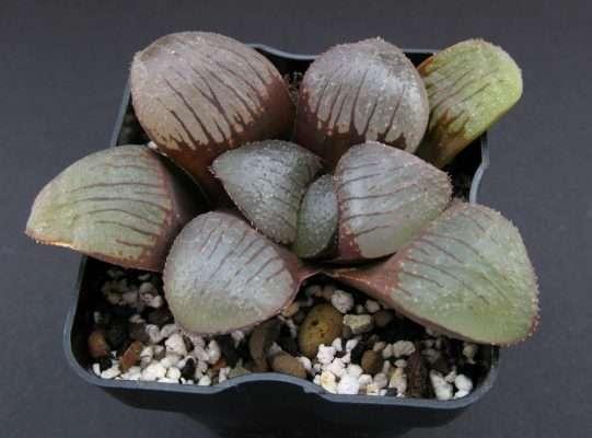 Haworthia in the pot