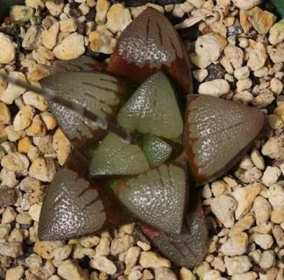 Haworthia springbokvlakensis