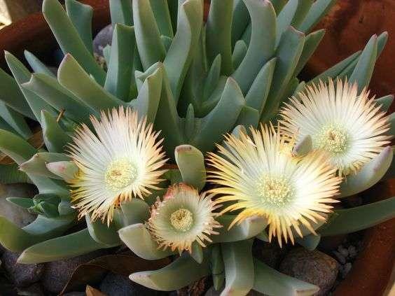 candidissima flowers