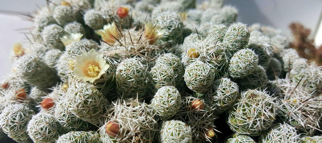 Thimble Cactus flower