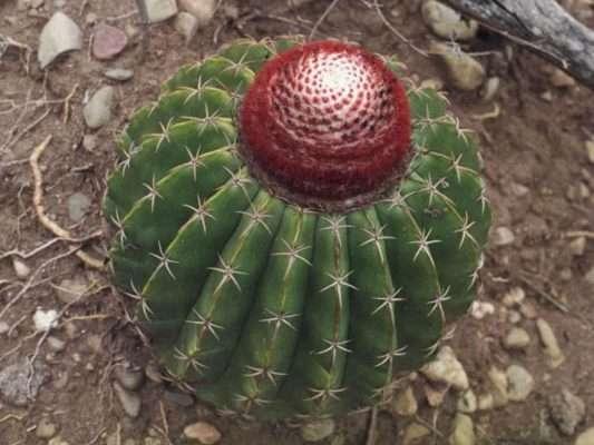 Mature Melocactus