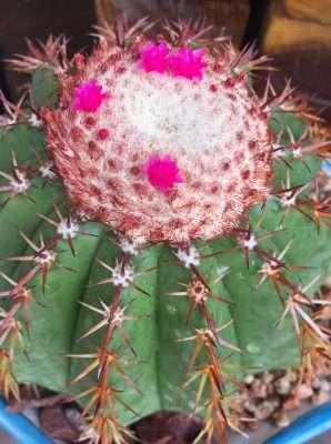 Melocactus Flowers