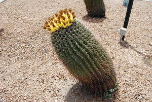 Outdoor Cactus Leaning