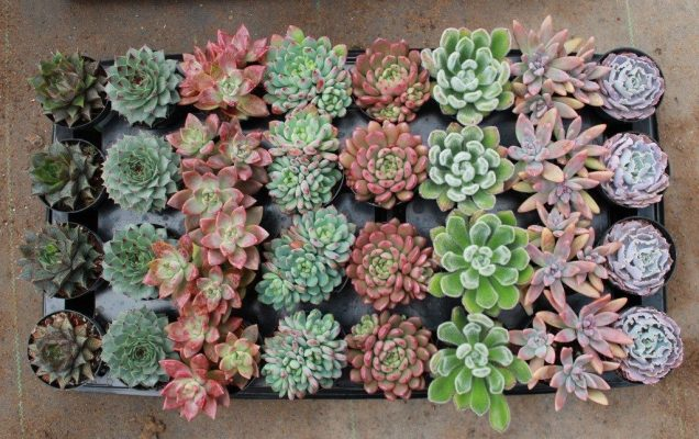 Succulents Packed in a Tray
