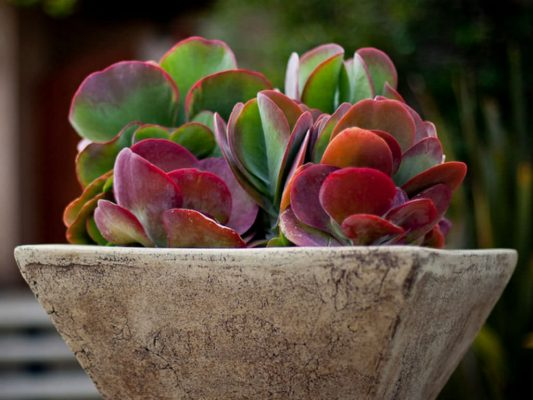 Paddle Plant In a Pot