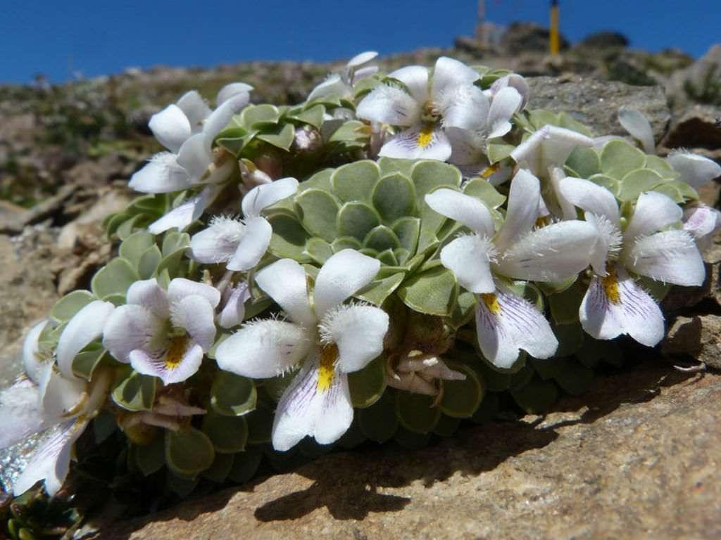 Flowering Viola