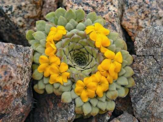 Rosulate Viola Yellow Flowers