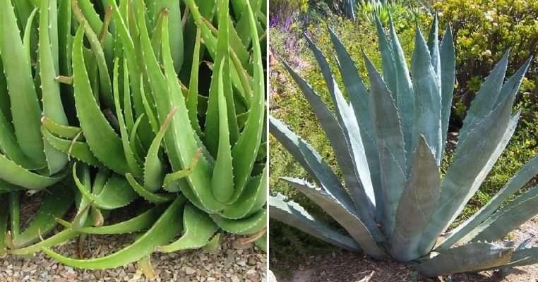 Agave vs Aloe