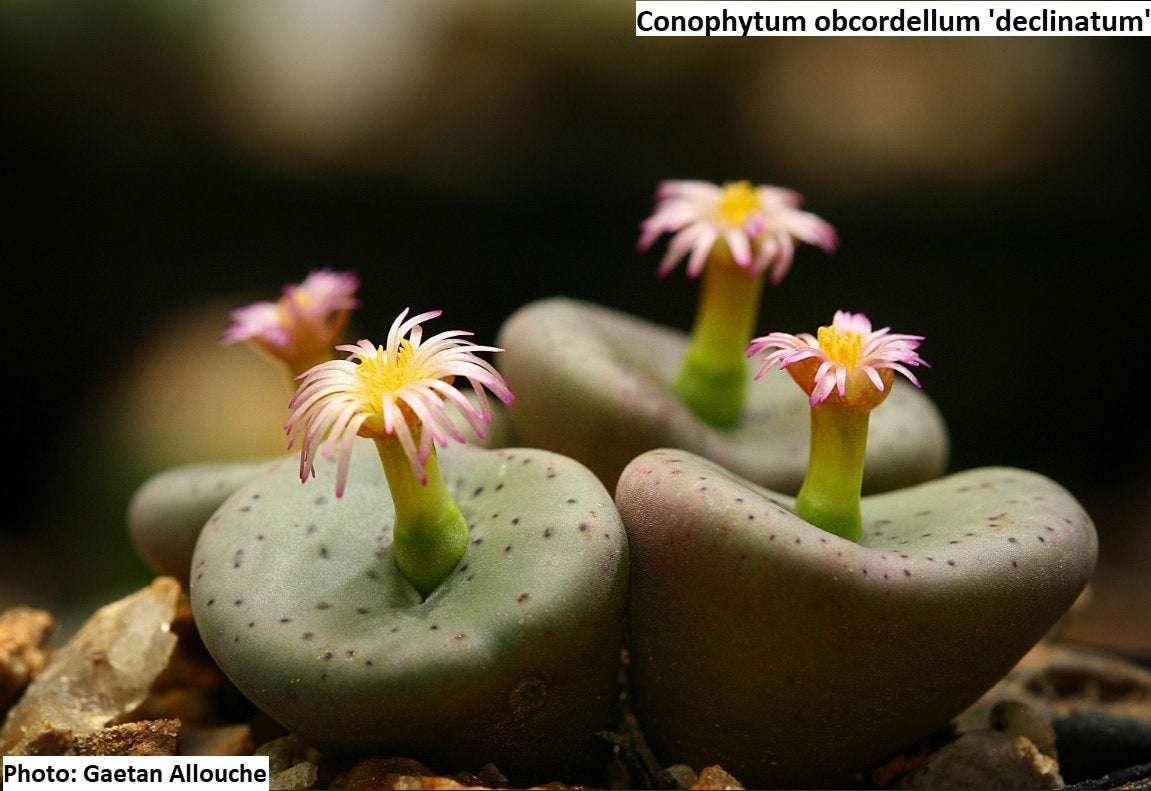 10 seeds RARE Conophytum hermarium
