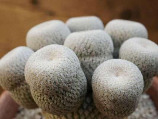 """""""Button cactus"""" Stems"""