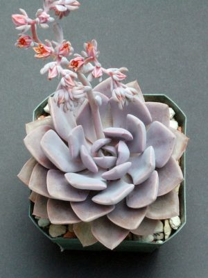 "Graptoveria ""Debbie"" Flower"