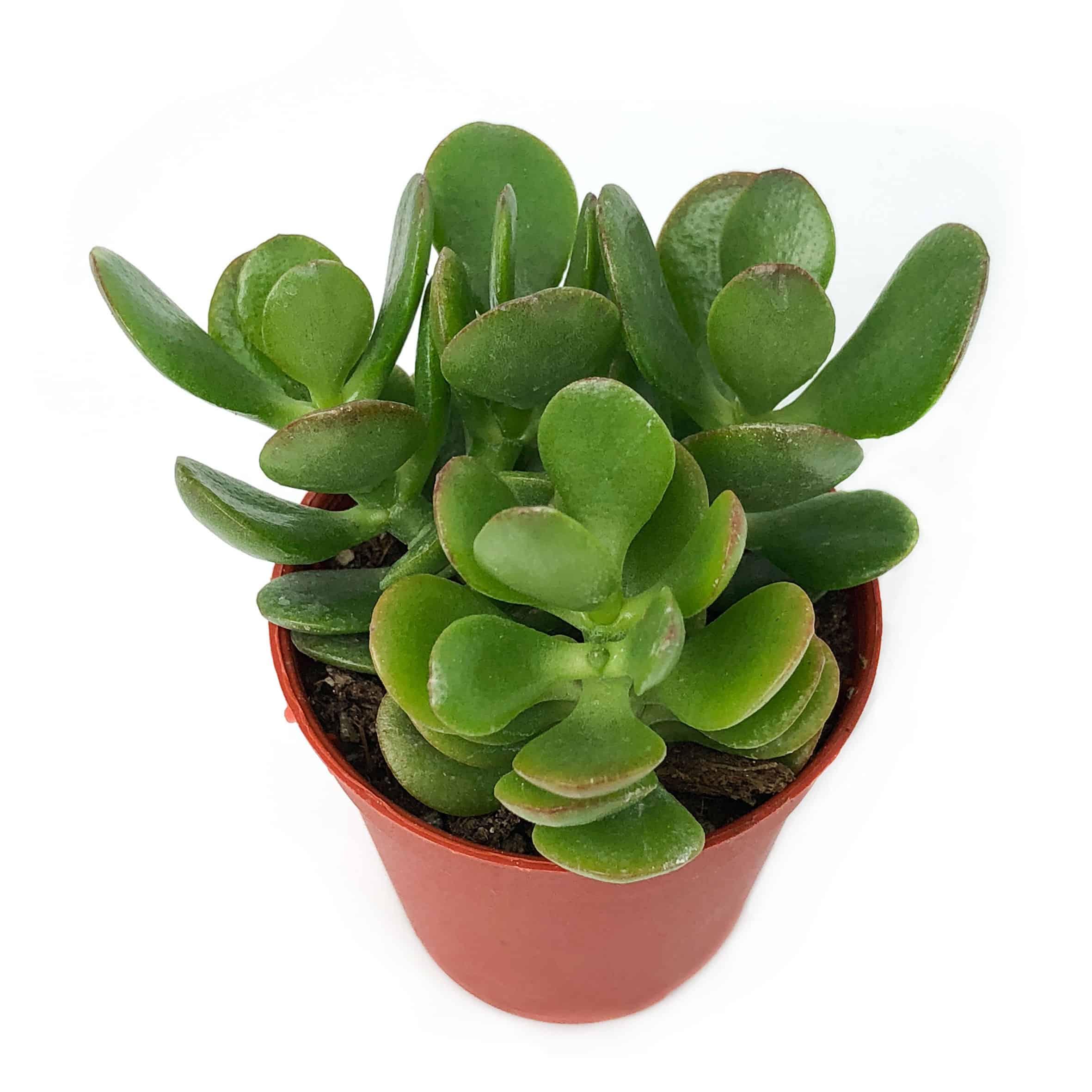 Jade Plant Leaves