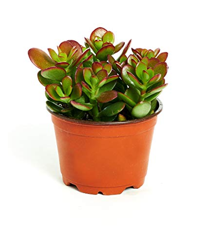 Jade Plant In a Pot