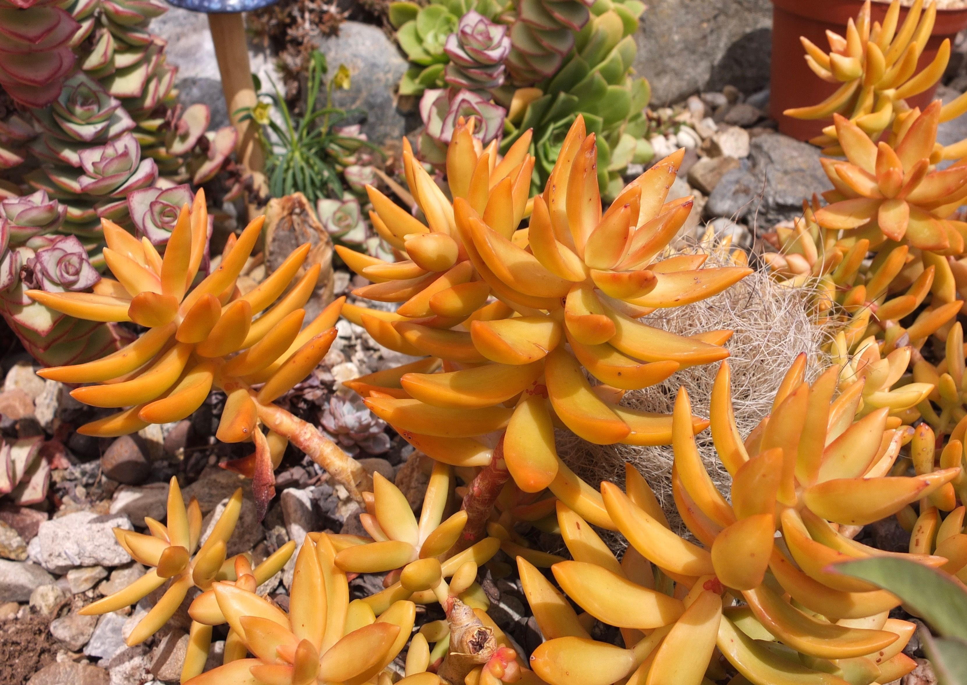 "Yellow ""Coppertone Sedum"""