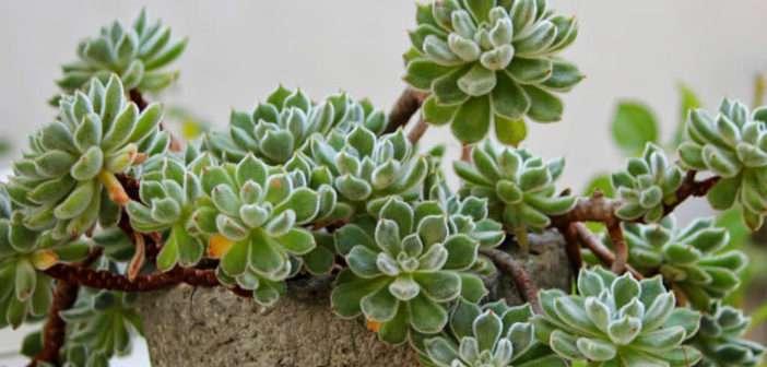 """Echeveria """"Doris Taylor"""" cristata In a Rocky Pot"""