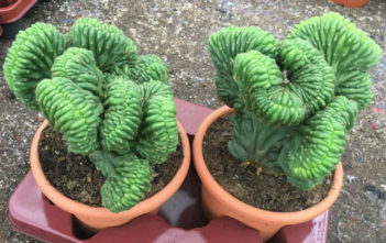 Crested Succulent