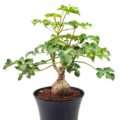 Jatropha in a Pot