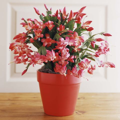 Christmas Cactus in a Pot