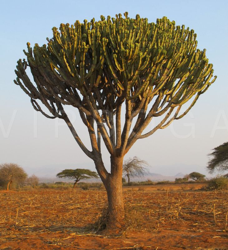 Candelabra Tree In The Wild