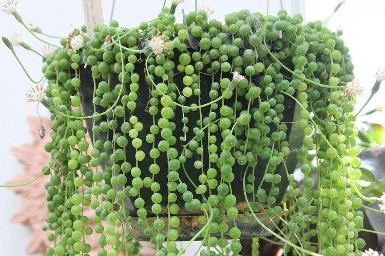 "Curio rowleyanus aka ""String of Pearls"""